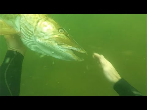 SCUBA Diving A Freshwater River And Petting A Muskie