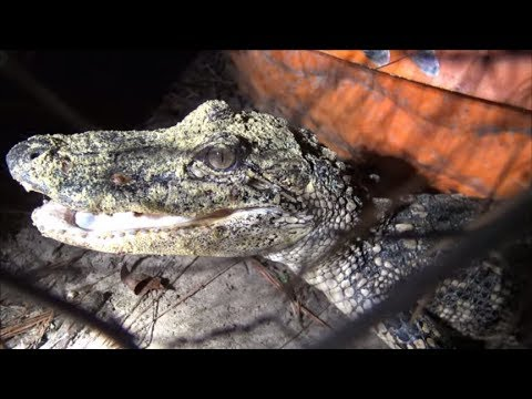 Charles Garrett Memorial Hunt: Lost Clips, Chigg Metal Detecting And The CRAZY GATOR!
