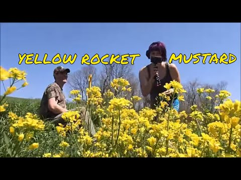 Metal Detecting In The Yellow Rocket Mustard