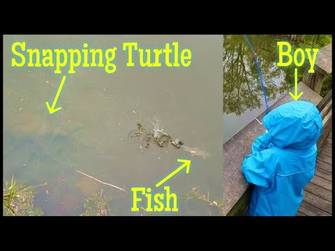 BIG Snapping Turtle vs Fish vs Little Boy – Small Pond Fishing Battle! Who will win?