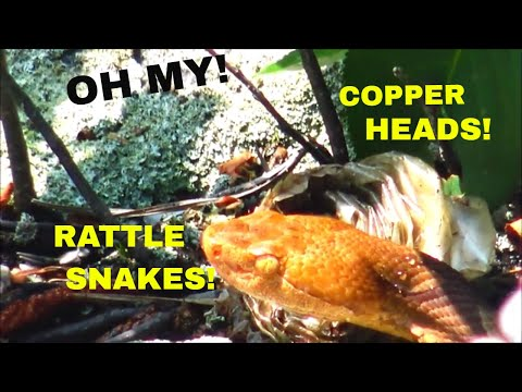 Copperhead and Rattlesnake Den: Creep-Out Alert!